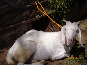 2013-04-Goat1