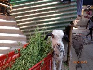 2013-04-Goat2