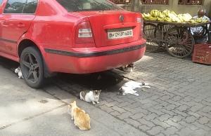 Cat car nappers