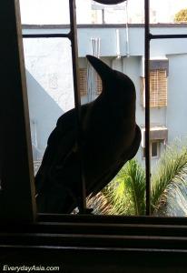 bandra-crow